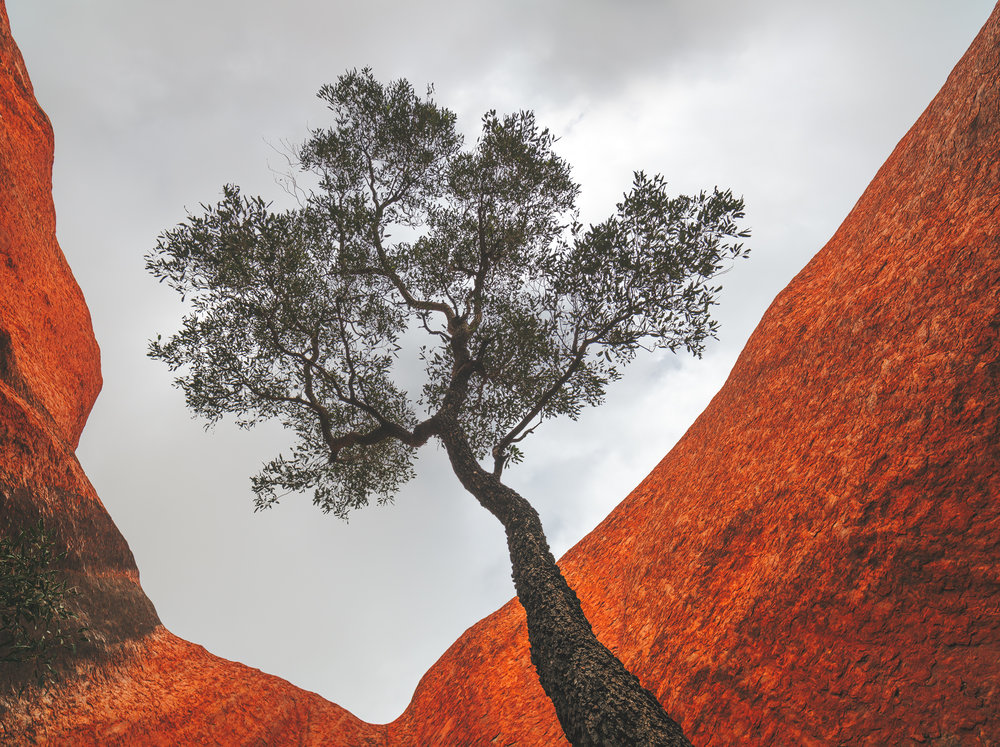 Uluru waterhole tree web.jpg