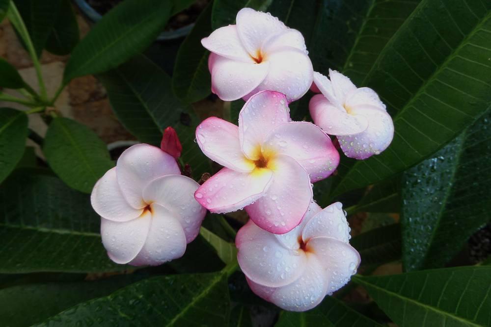 Plumeriarubra 'J.L.Pink Pansy'