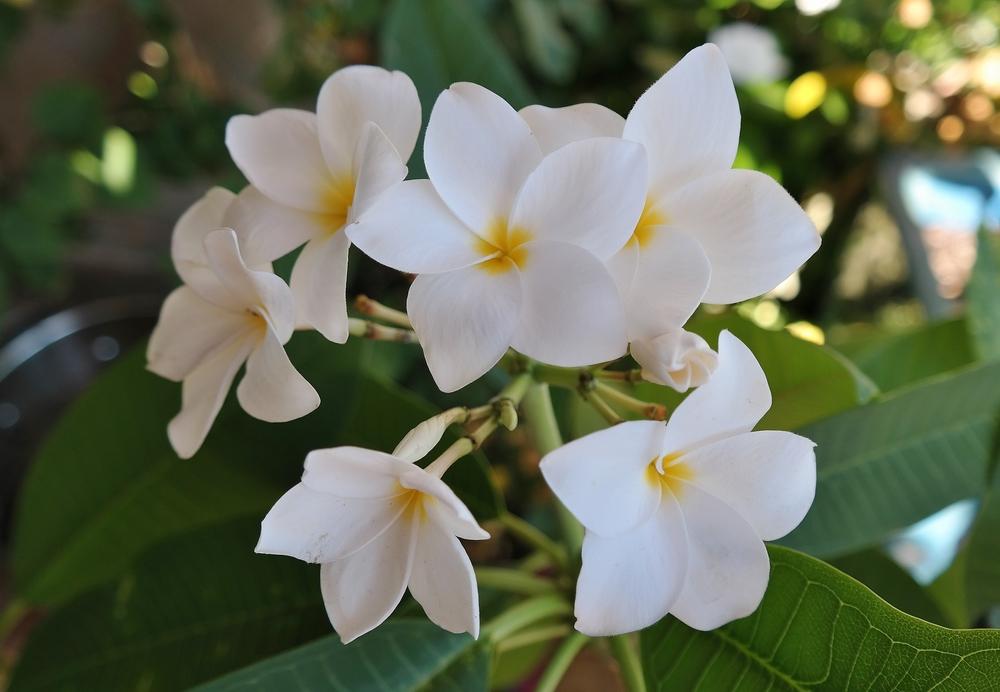 hausten-white-plumeria.jpg