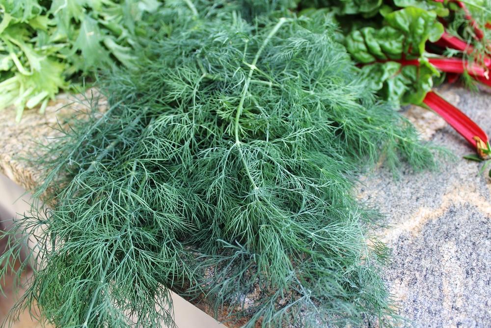 Arizona gardening dukat dill Phoenix