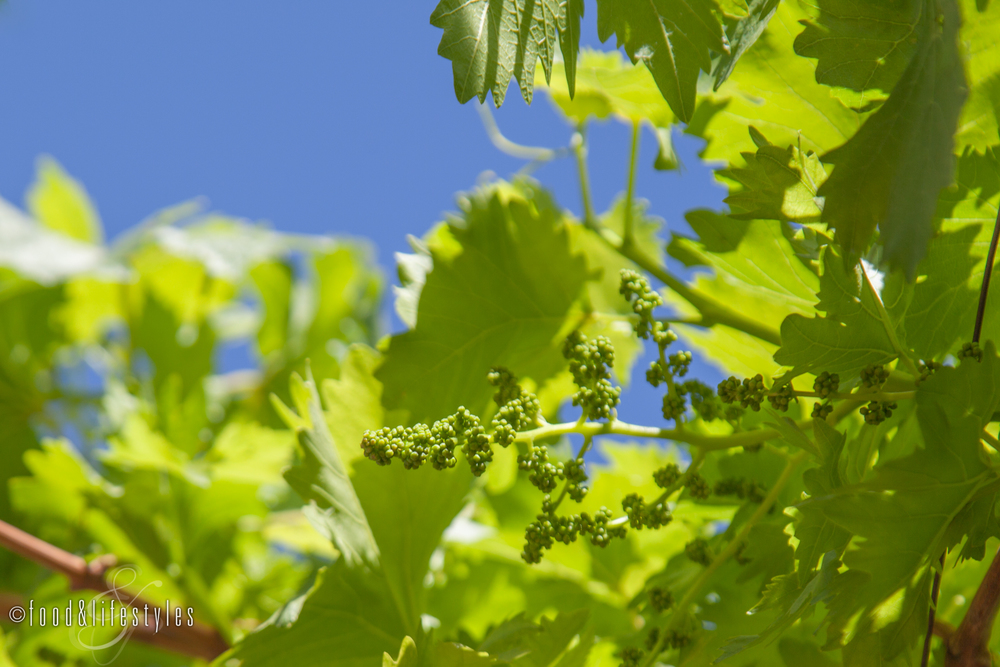 Young Thompson Seedless grapes