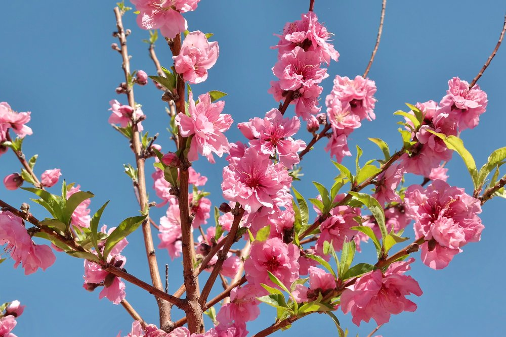 Urban Farms tree:  Mid Pride peach blossoms (photo: Christina Barrueta)
