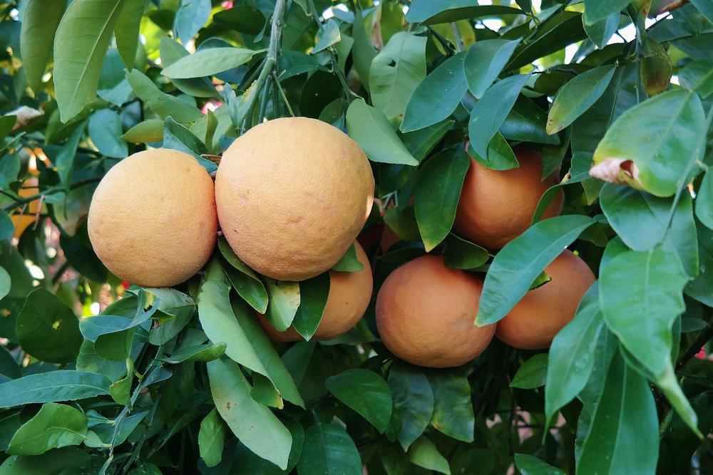 Arizona-grown grapefruit