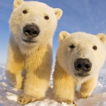 Polar Bears. ALways.