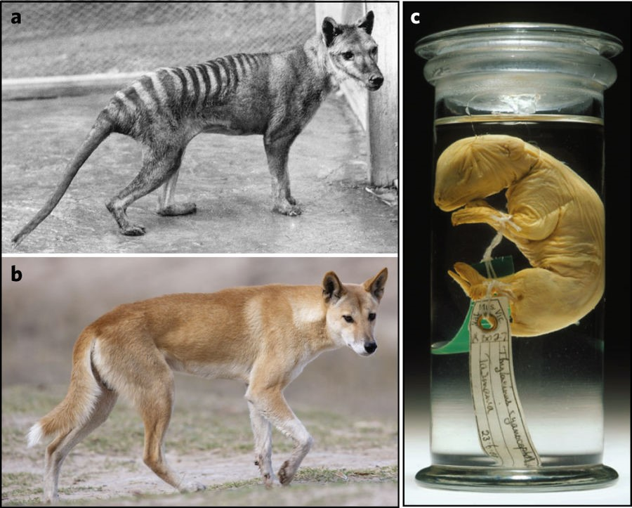 The first figure from the thylacine genome paper clearly invites comparison between the two, distantly related mammal groups, making it easy to see how journalists may have miss-understood the paper.