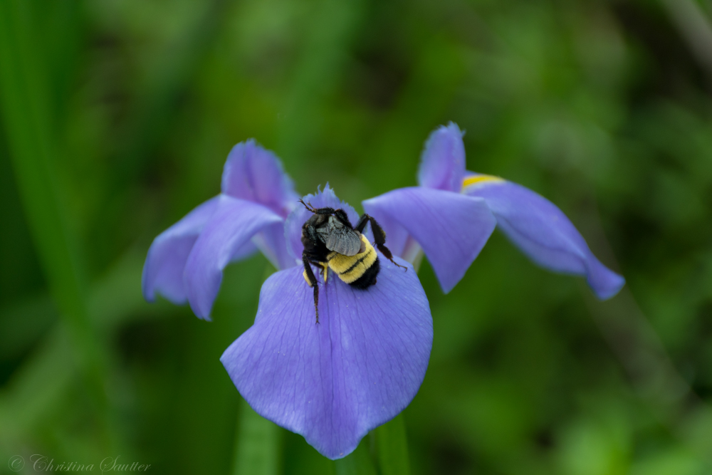 A bee on an iris in Barataria Preserve, Jean Lafitte National Historic Park and Preserve