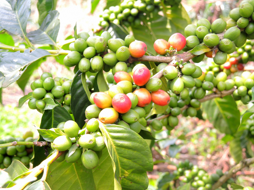 coffeecherries.jpg