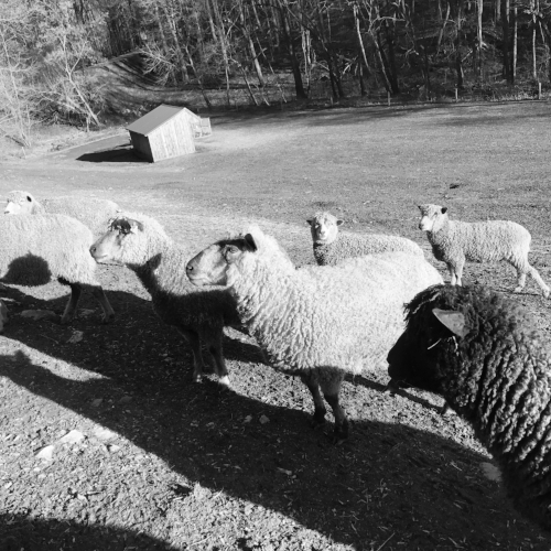 The ewes