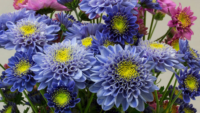 First genetically modified blue chrysanthemums. Image by Naonobu Noda/NARO.