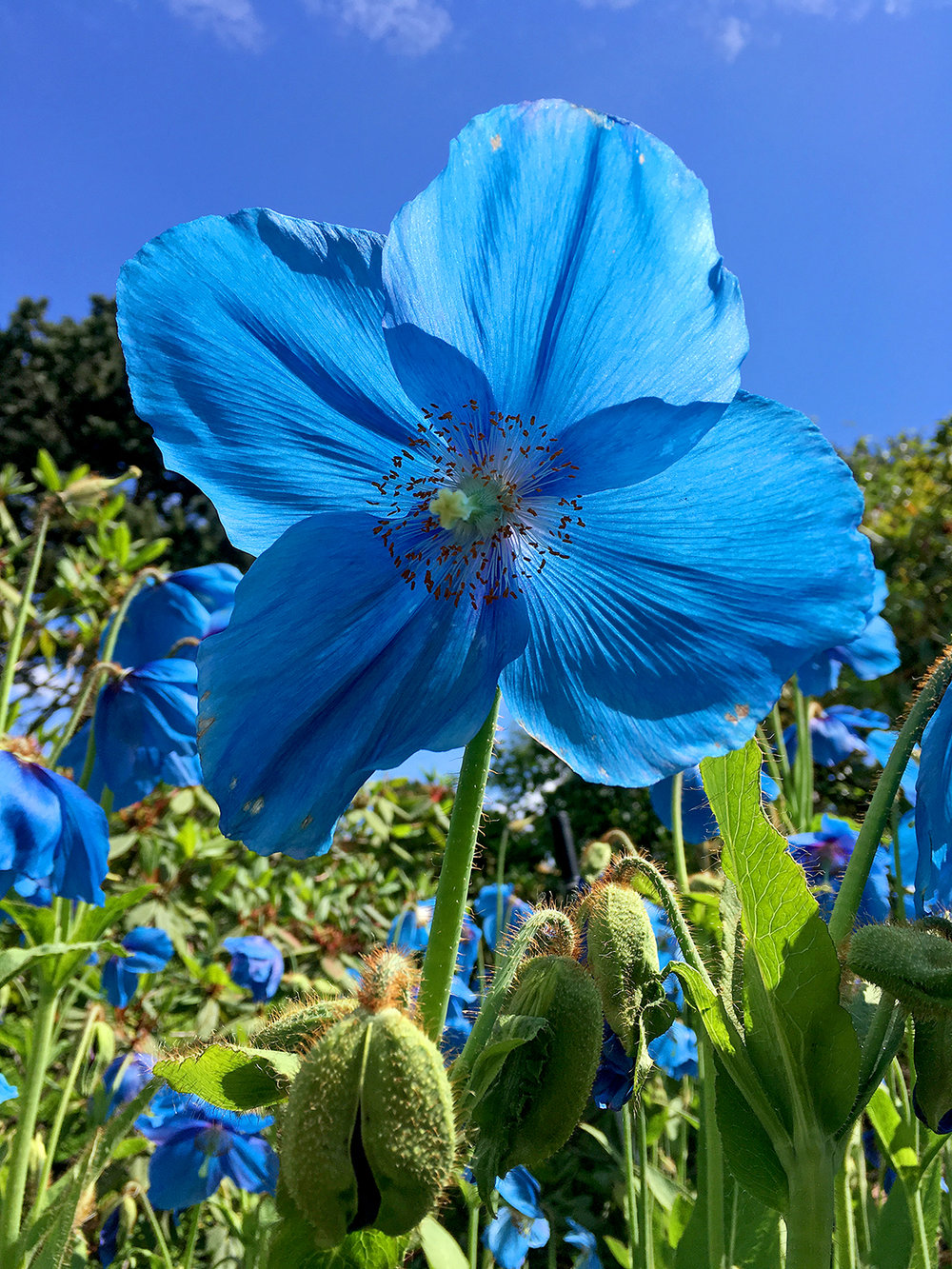 Meconopsis 'Slieve Donard' at Royal Botanic Garden Edinburgh