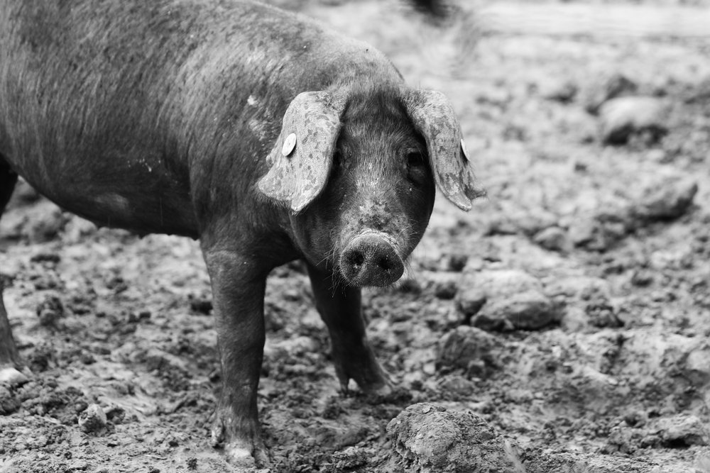 trips-2017-italy-atalanta-tuscany-jurrasic-pork-black-pigs-prosciutto-280A8474.jpg