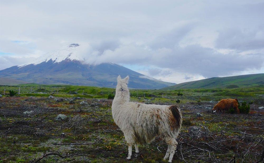 Lama overlooking Cotopaxi.