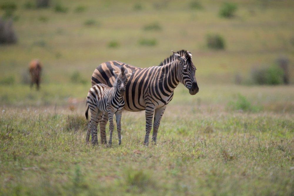 Zebras in the field. 600mm f/4 VRII