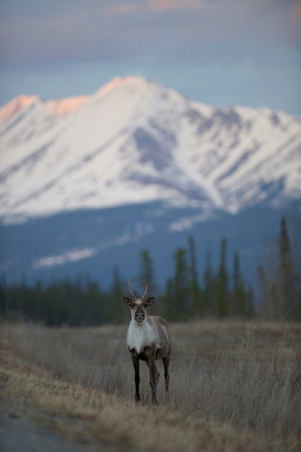 A caribou near Toad River, British Columbia