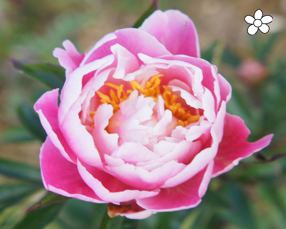 Original Pink