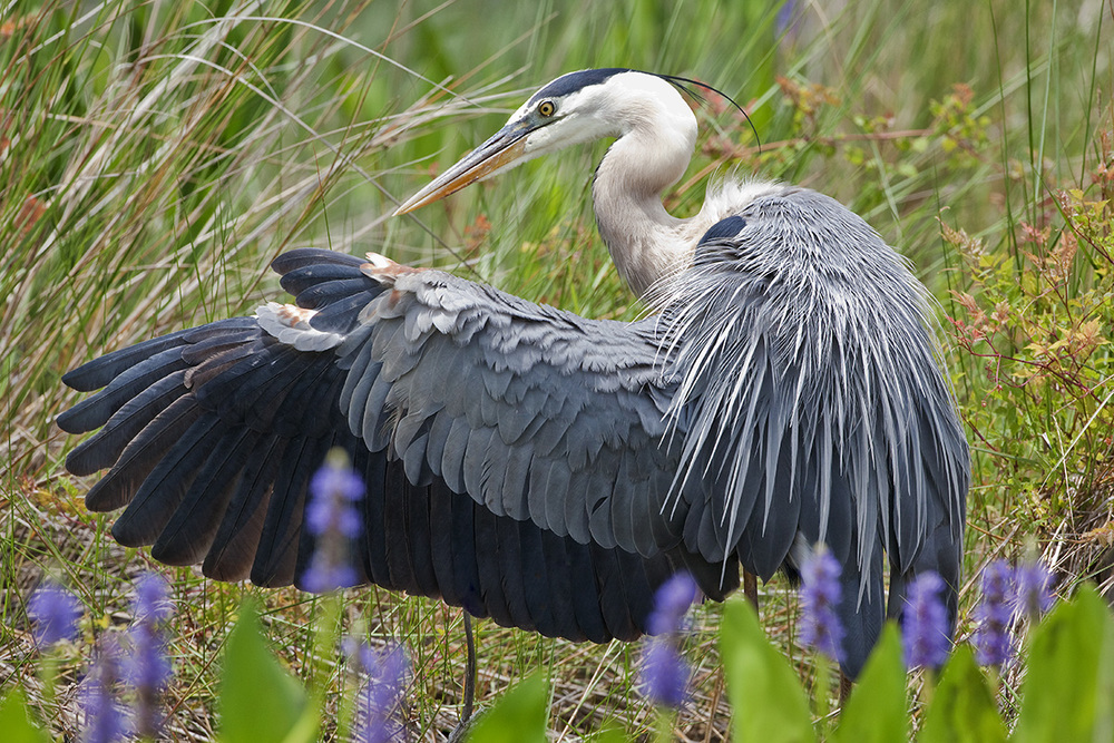Great Blue Heron IV