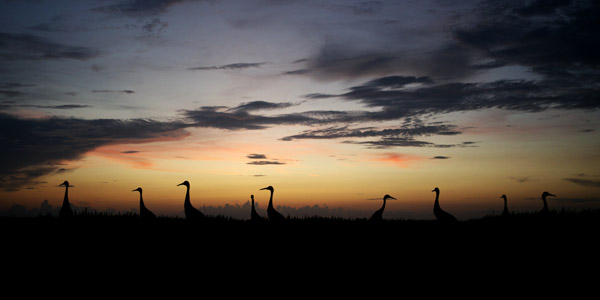 Sandhill Cranes at Twilight