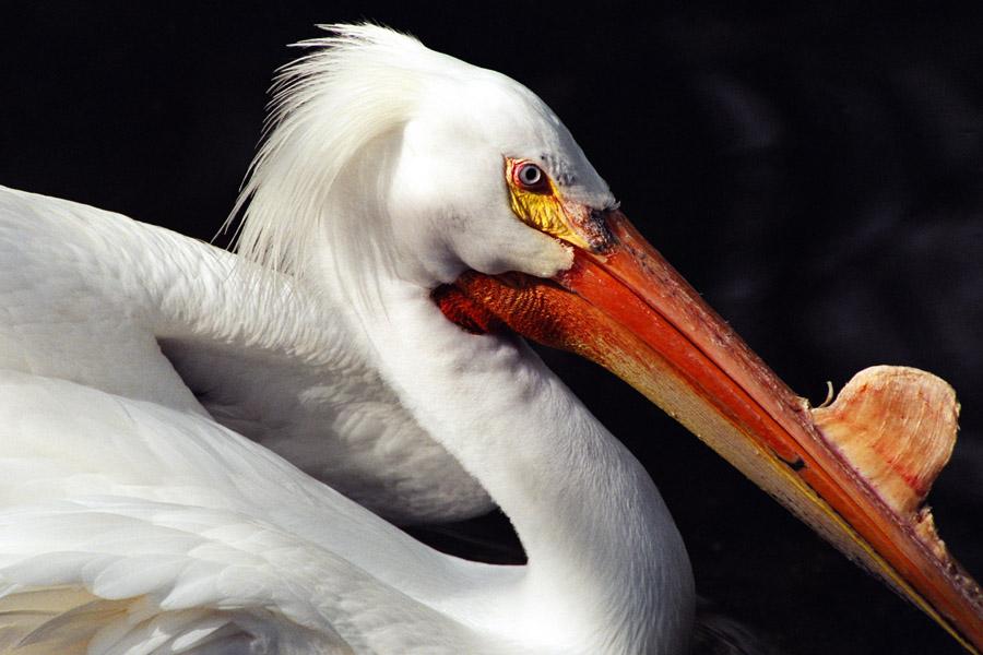 White Pelican II