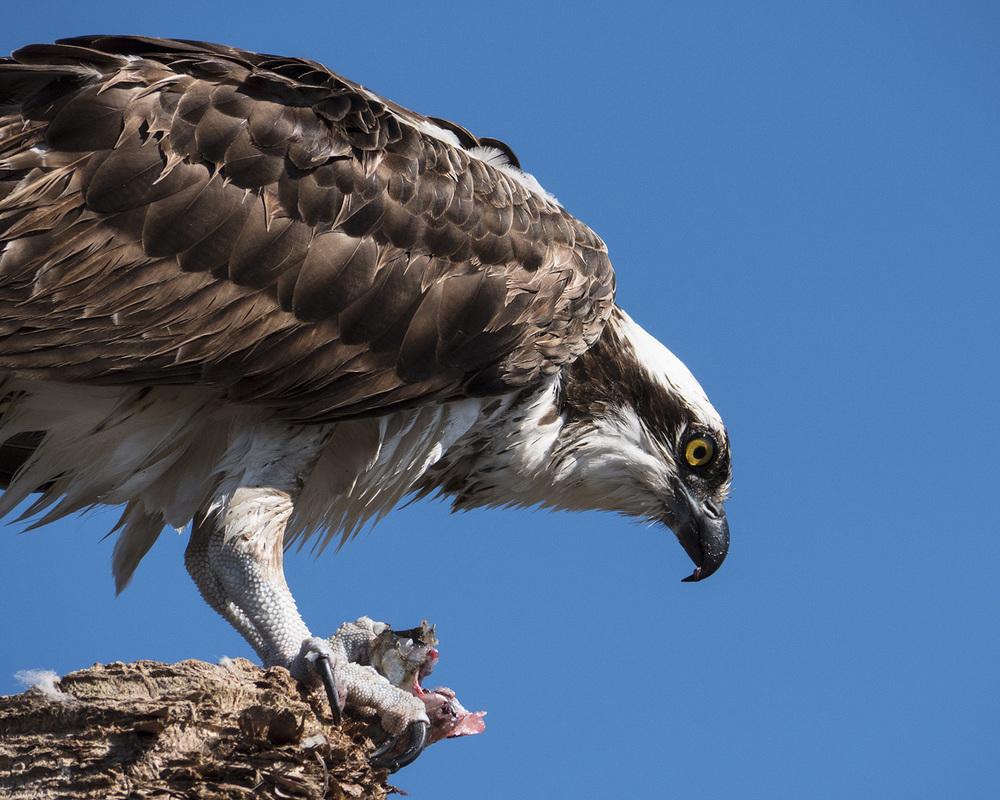 Osprey_fish.jpg