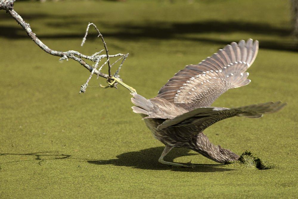 Sandhill Crane V