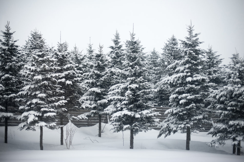 Snow_on_fir_trees.jpg