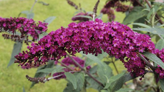 BUDDLEJA / BUTTERFLY BUSH