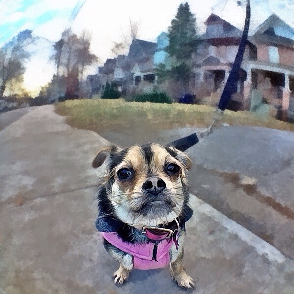 Adorable chihuahua in a pink coat.