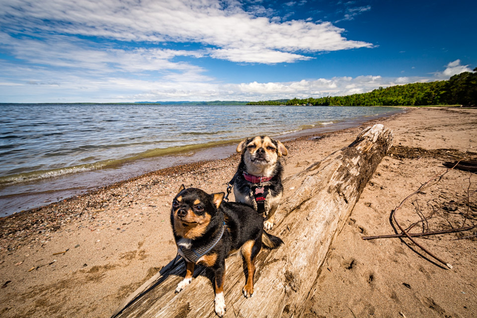 Dogs on driftwood, Harmony Beach, Lake Superior ON
