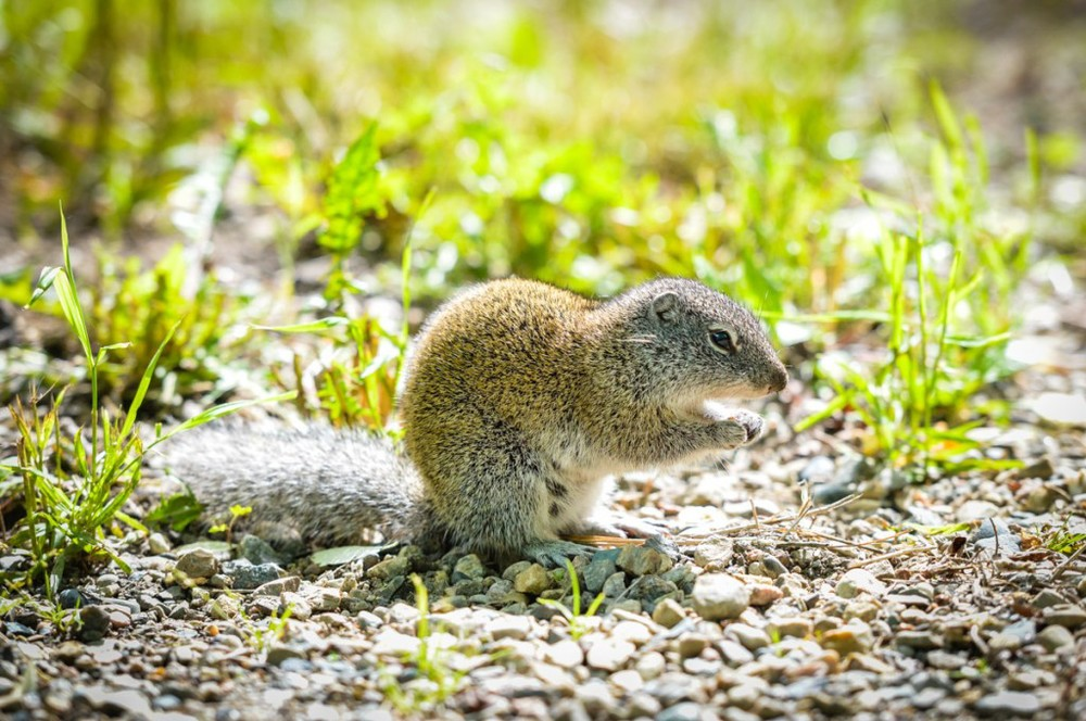 A Ground Squirrel at our campsite in Saskatchewan was definitely pushing his luck with the dogs!