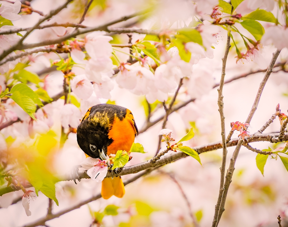 A male Oriole among the cherry blossoms in High Park, Toronto.