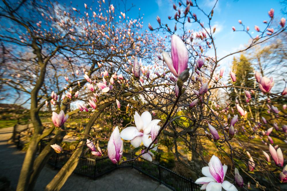 High Park Magnolias