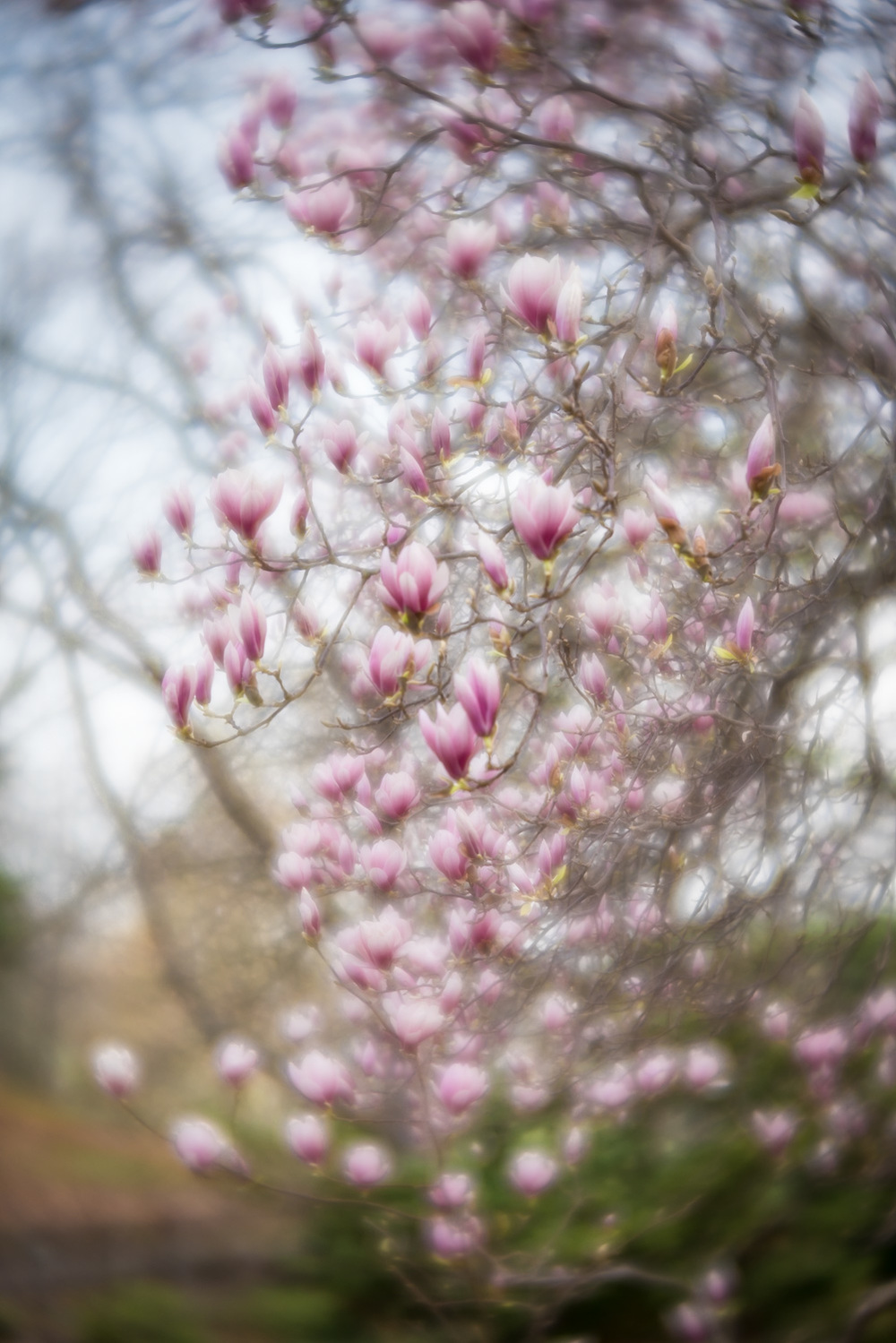 A soft and dreamy photo of magnolia blooms, taken with the lensbaby velvet 56 lens.