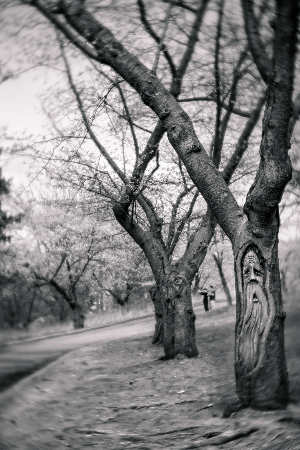 A carving of a face in the trunk of a cherry tree in High Park, Toronto.
