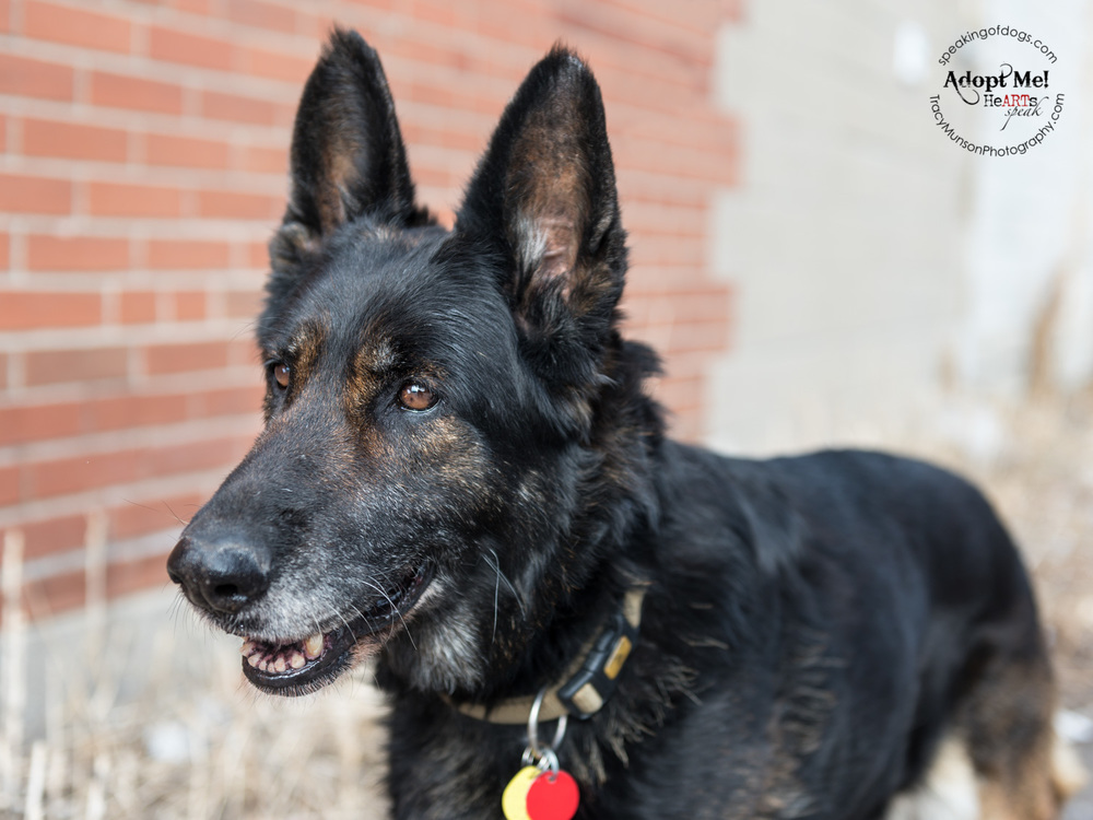 Champ is a mature German Shepherd dogand a true lady. She is seeking a home in the Greater Toronto Area.