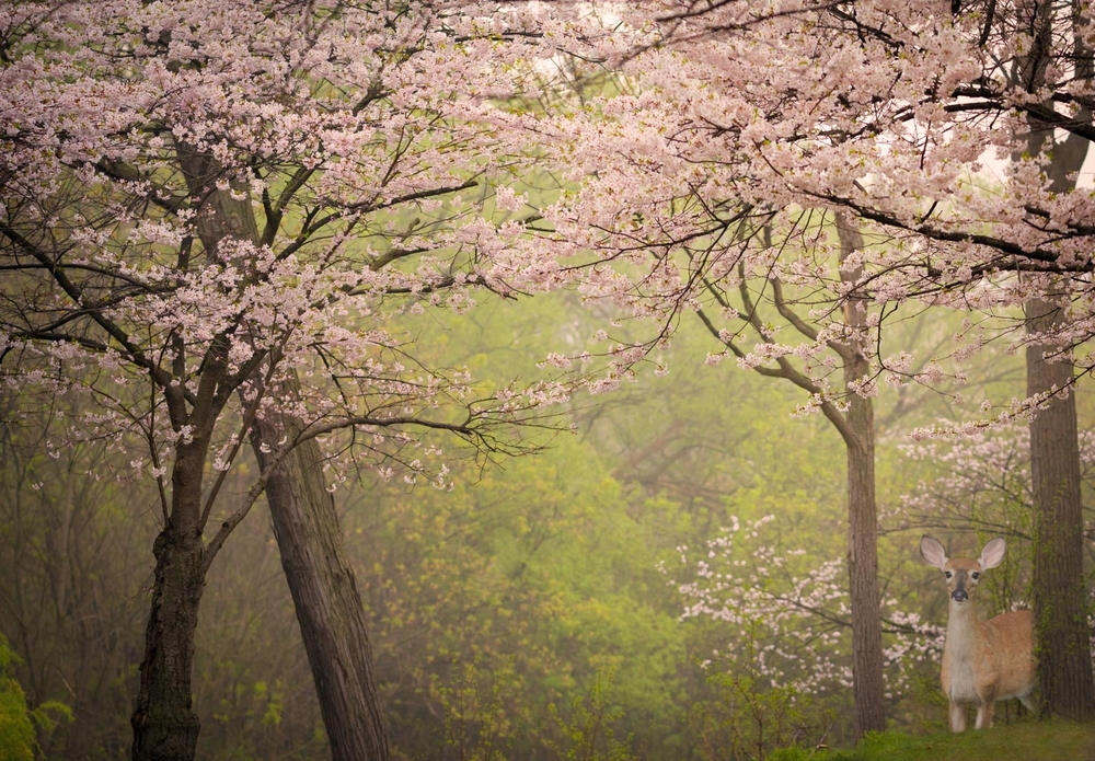 A young doe among the Cherry Trees, early on a misty morning in High Park, Toronto.