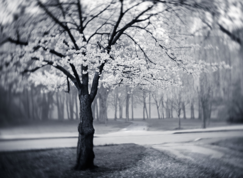 Early morning fog adds some atmosphere to the sakura in High Park, Toronto.