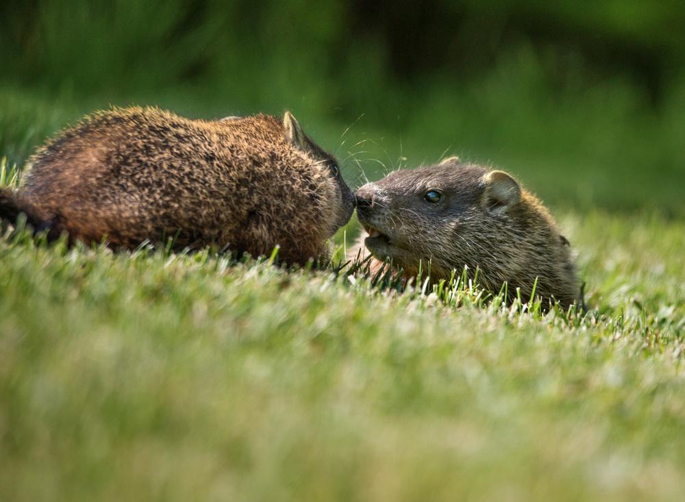 Groundhog Kisses