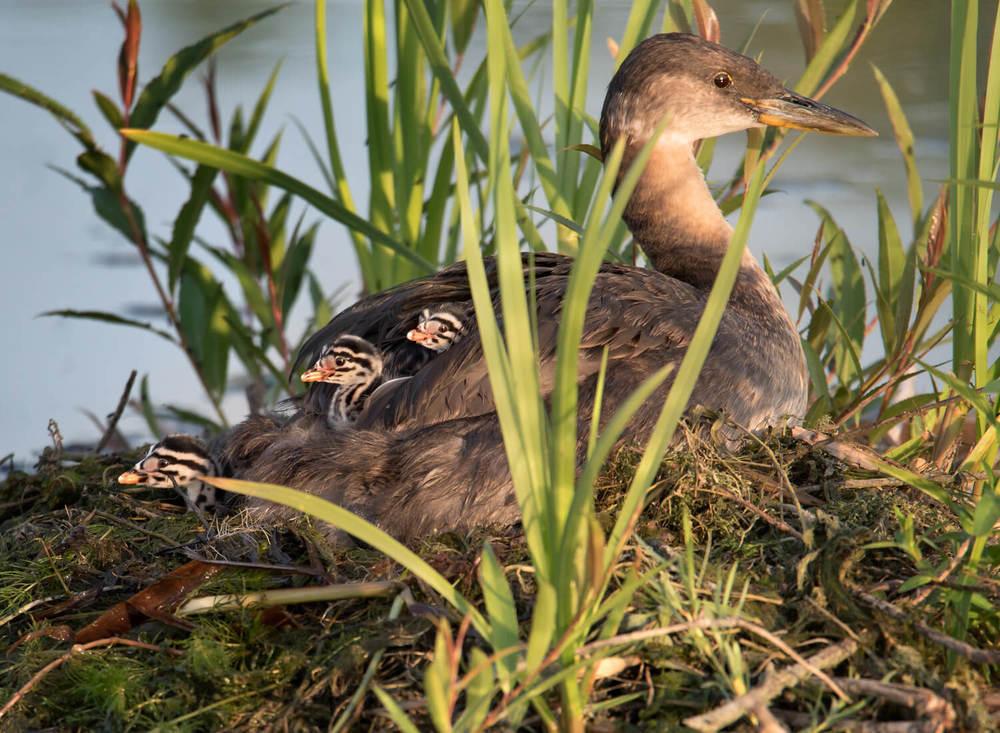 Grebe and chicks
