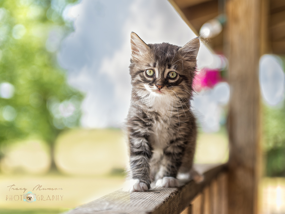 A photo of a tabby kitten on a porch railing. Portrait by Toronto Pet Photographer, Tracy Munson.