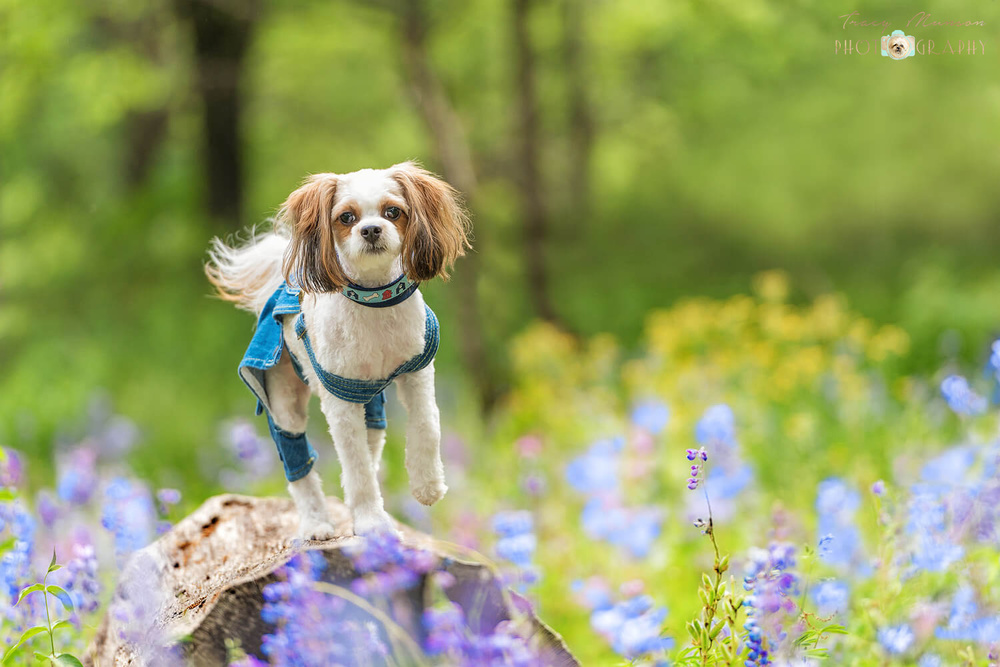 Charlie, a Shih Tzu, Cavalier mix cavorts in a field of wildflowers. Photo by Toronto Pet Photographer, Tracy Munson.