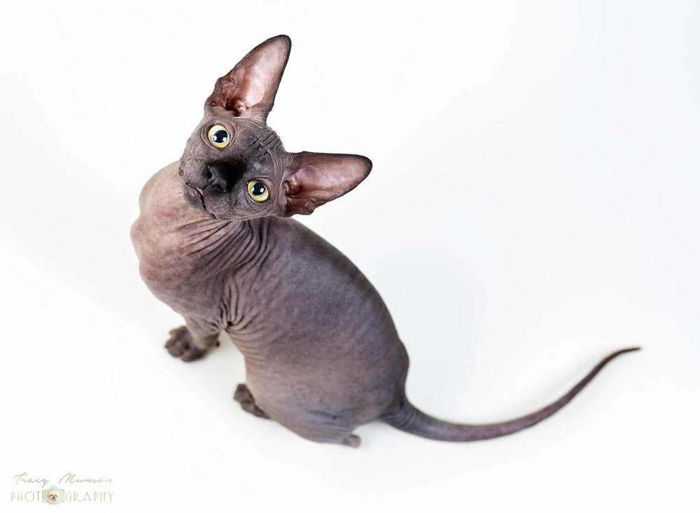 Onyx, the Sphynx by Toronto Pet Photographer, Tracy Munson.
