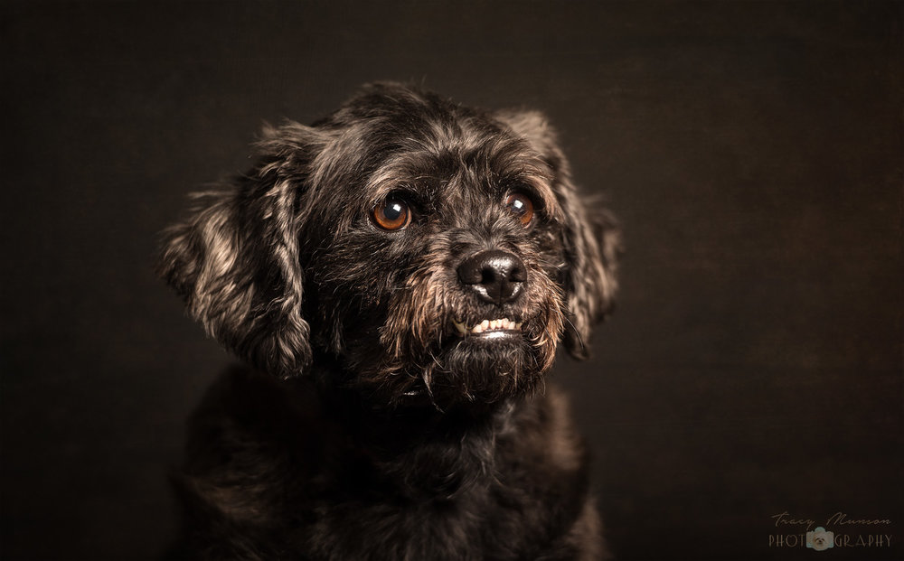 A portrait of a black dog on a dark background, by Toronto Pet Photographer, Tracy Munson.