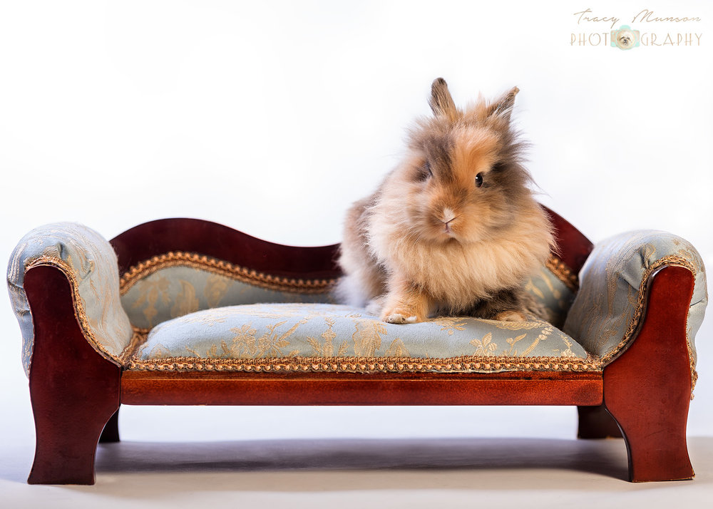 A portrait of an adorable baby bunny on a miniature couch, by Toronto Pet Photographer, Tracy Munson.