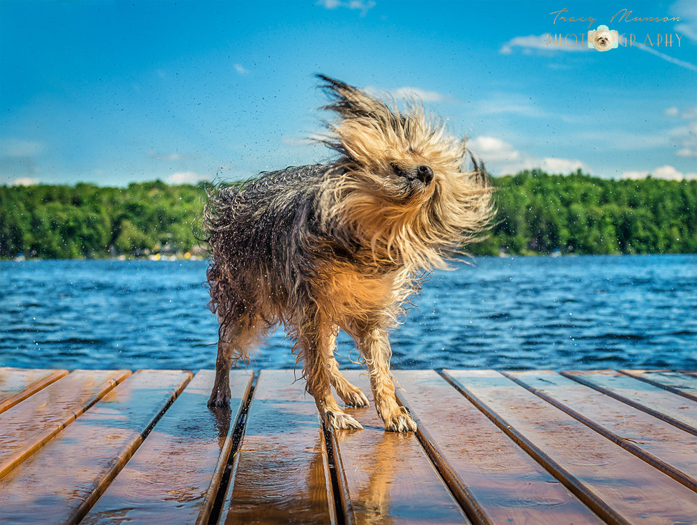 A shaggy dog shakes himself dry at the end of a dock in the Kawartha Lakes Region of Ontario. Photo by Toronto Pet Photographer, Tracy Munson.