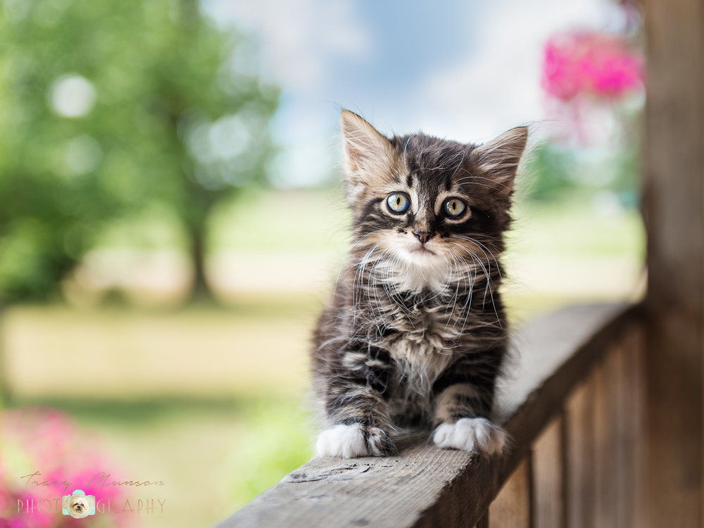 An adorable tabby kitten perches on the porch railing of a farmhouse in the countryside. Photo by Toronto Pet Photographer, Tracy Munson.