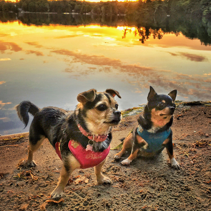 Use HDR Mode For Sunsets - A sunset scene like this one is impossible to capture with only one shot, using your phone. You will either have properly exposed dogs, and a bright white sunset, or a beautifully coloured sunset and black silhouettes of the dogs. If your dog won't stay still for an HDR, consider getting down very low and intentionally silhouetting them against the colourful sky.