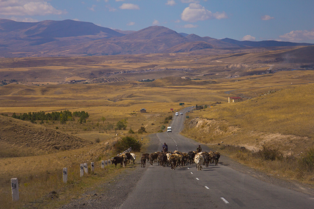 Landscape_Cows On The Road.jpg