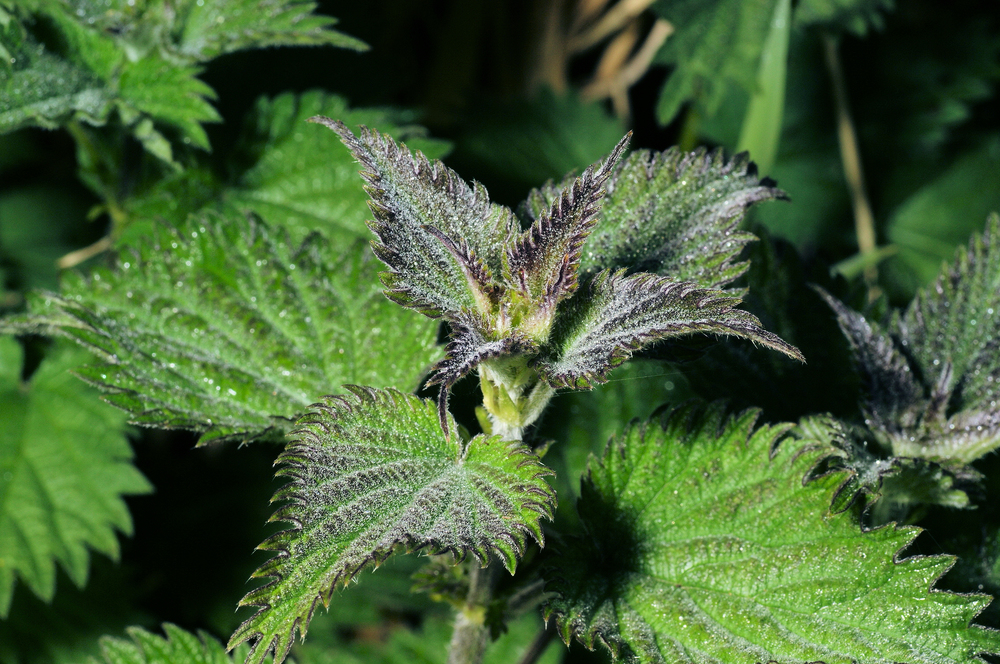 """Urtica dioica   (Stinging nettle) - the """"hairs"""" on stinging nettle leaves are actually tiny needles that release histamine when we touch them with our bare skin, causing an itchy inflammatory response called urticaria"""