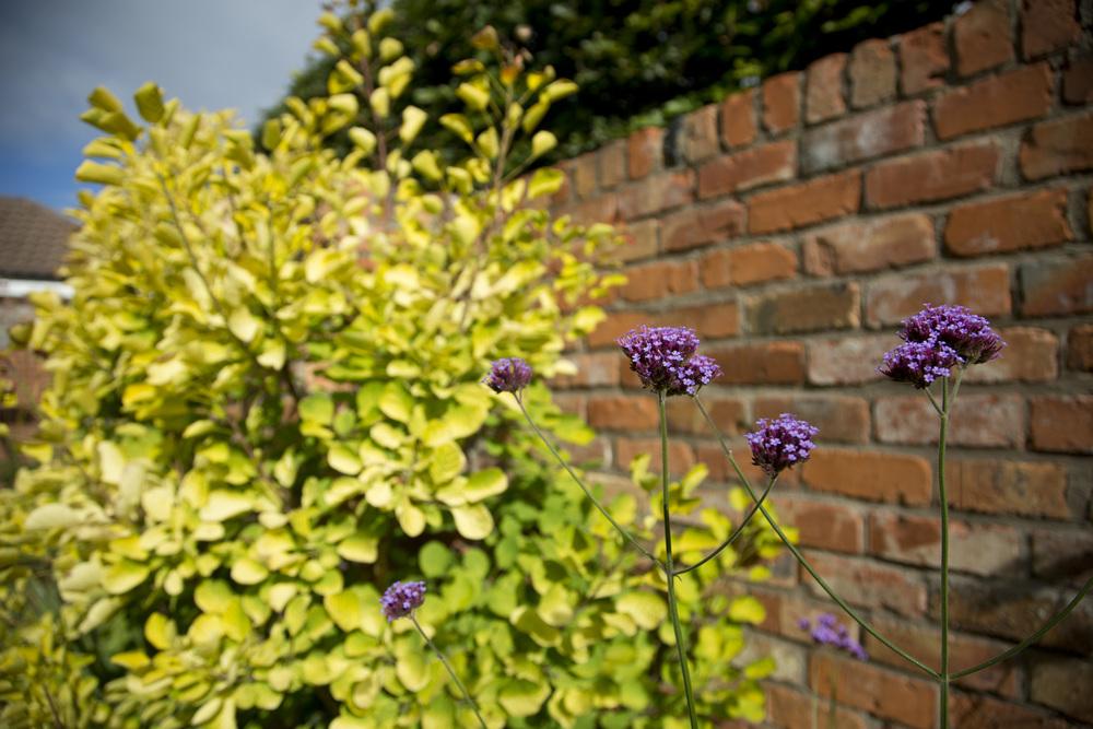 verbena planting uk irish garden plant society