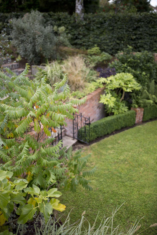ficus or fig tree in a garden in ireland